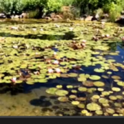 Mile High Lily Pond Meditation I Angel Messenger