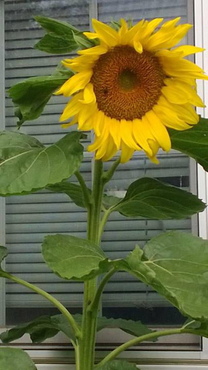 giant-sunflower
